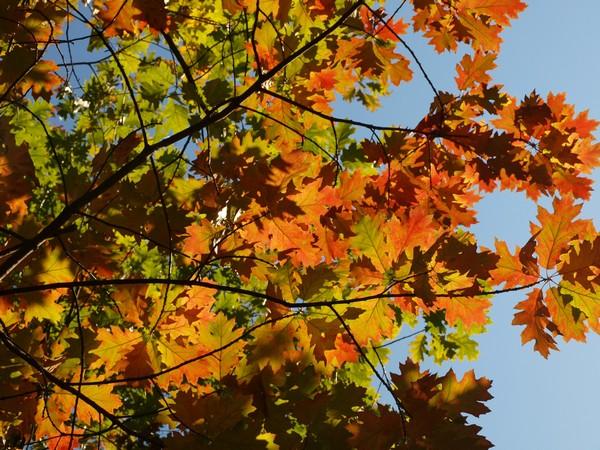 Коломенское. Кленовые листья