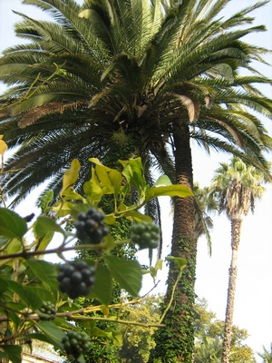 Неизвестная местная ягода и пальмы