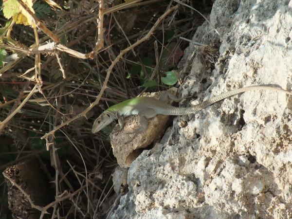 Сицилия, Сиракузы, ящер