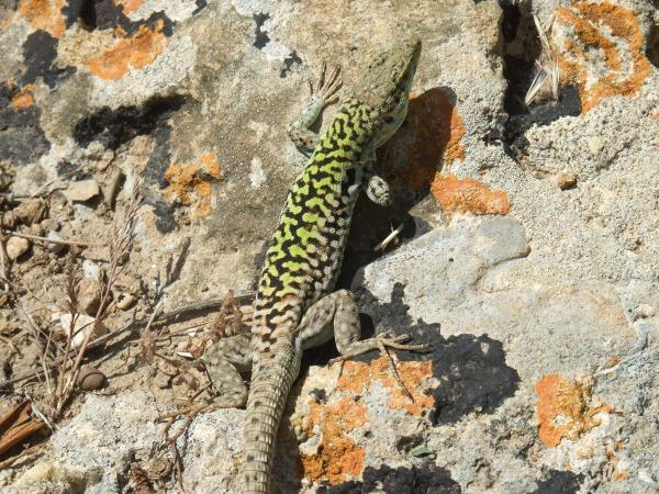 Бесстрашная ящерица из Долины Храмов: отлично видит камеру, позирует. Кликабельно