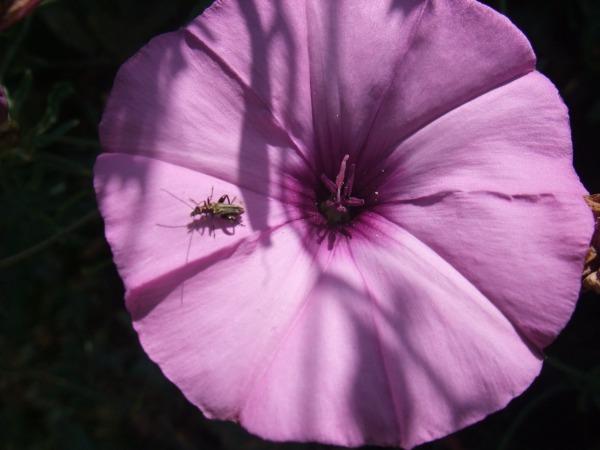 Жук в цветке. Романтика из Агридженто
