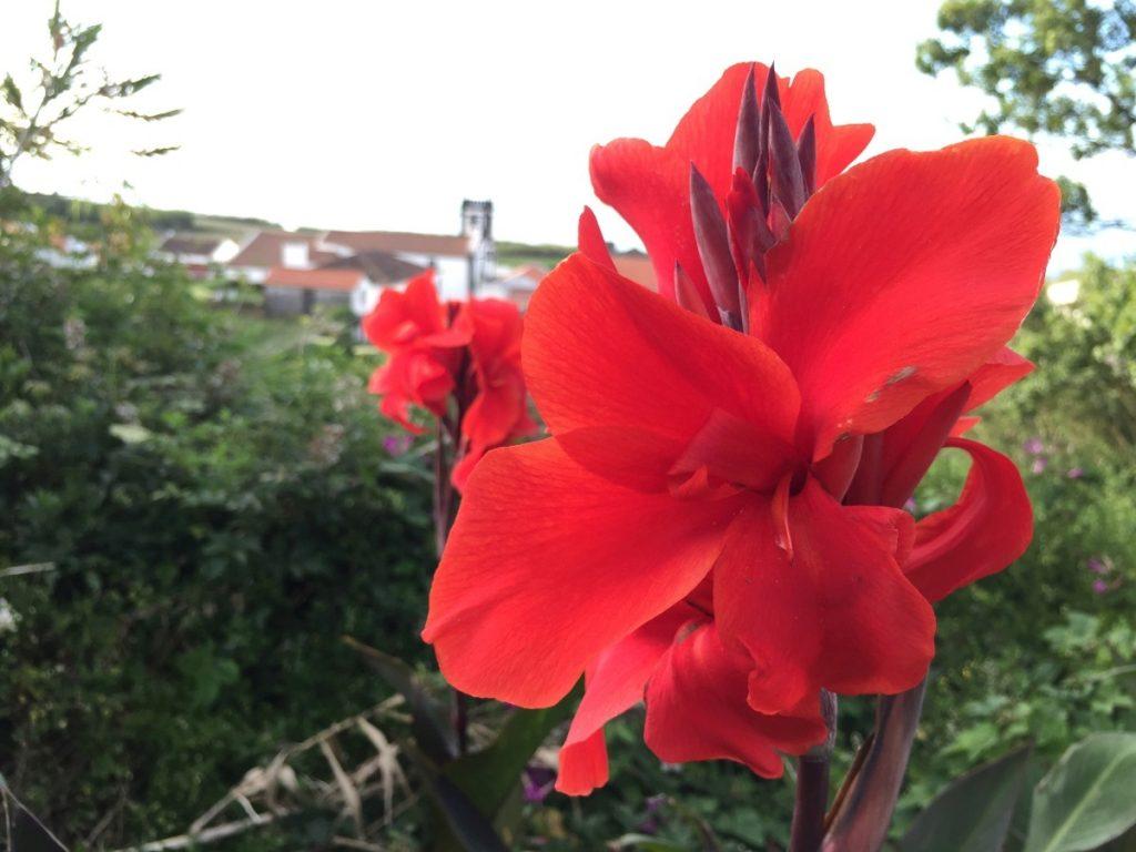 азоры цветы
